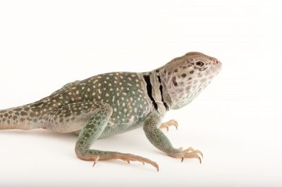 Picture of a common collared lizard (Crotaphytus collaris) at the Sedgwick County Zoo in Wichita, Kansas
