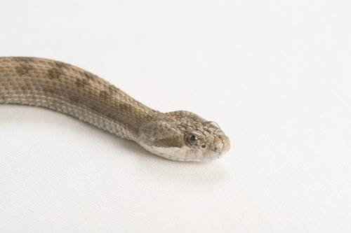 Twin spot rattlesnake (Crotalus pricei) at the Fresno Chaffe Zoo.