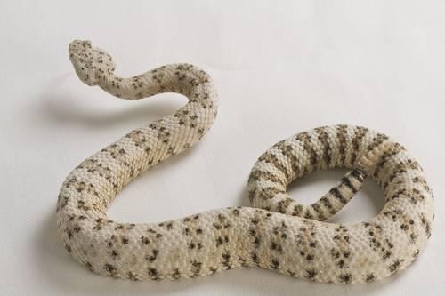 Photo: Southwestern speckled rattlesnake (Crotalus mitchellii pyrrhus) at the LA Zoo.