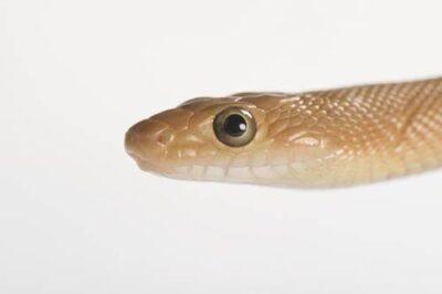 Photo: Baja California rat snake (Bogertophis rosaliae) at the LA Zoo.