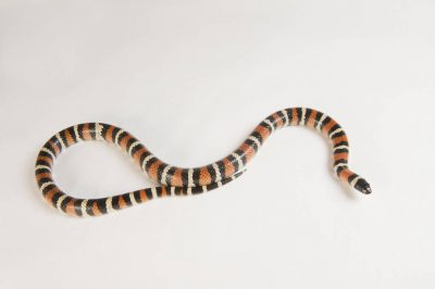 Photo: Utah milk snake (Lampropeltis triangulum taylori) at the LA Zoo.