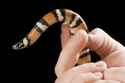 Photo: Utah milk snake (Lampropeltis triangulum taylori) at the LA Zoo.