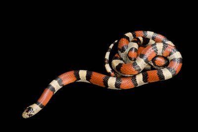 Photo: Central Plains milk snake (Lampropeltis triangulum gentilis) collected in Jefferson County, Nebraska.