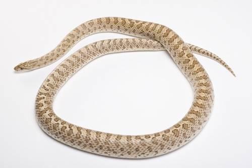 Kansas glossy snake (Arizona elegans elegans) collected in Dundee County, Nebraska.