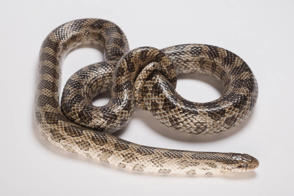 Photo: Prairie kingsnake (Lampropeltis calligaster calligaster) collected in Pawnee County, Nebraska.