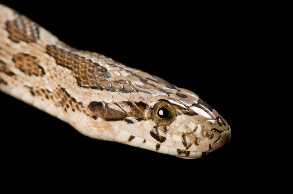 Photo: Northern Plains ratsnake (Pantherophis emoryi) collected in Thayer County, Nebraska.