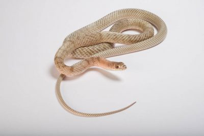 Photo: Western coachwhip (Masticophis flagellum) collected in Chase County, Nebraska.