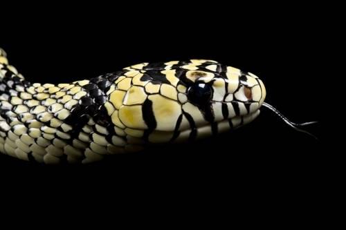 A tiger rat snake (Spilotes pullatus) profile at the Gladys Porter Zoo.