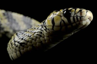 A tiger rat snake (Spilotes pullatus) profile at the Gladys Porter Zoo.