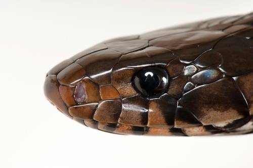 Eastern indigo snake, Drymarchon corais couperi, at the Toledo Zoo. This species is federally threatened.