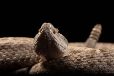 A federally threatened New Mexico ridge-nosed rattlesnake, Crotalus willardi obscurus, at the Arizona Sonora Desert Museum.