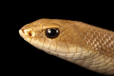 Blonde hognose snake (Leioheterodon modestus) at the Omaha Zoo.