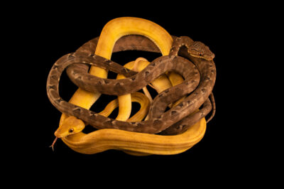 Photo: The two color phases of the Amazon tree boa (Corallus hortulanus hortulanus) at the Jacksonville Zoo and Gardens, Jacksonville, Florida.