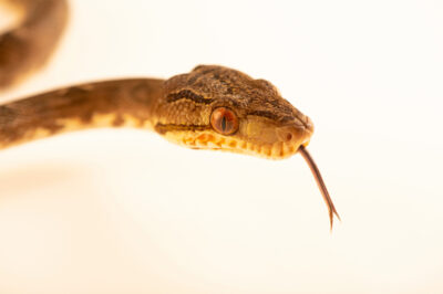 Photo: An Amazon tree boa (Corallus hortulanus hortulanus) at the Jacksonville Zoo and Gardens, Jacksonville, Florida.