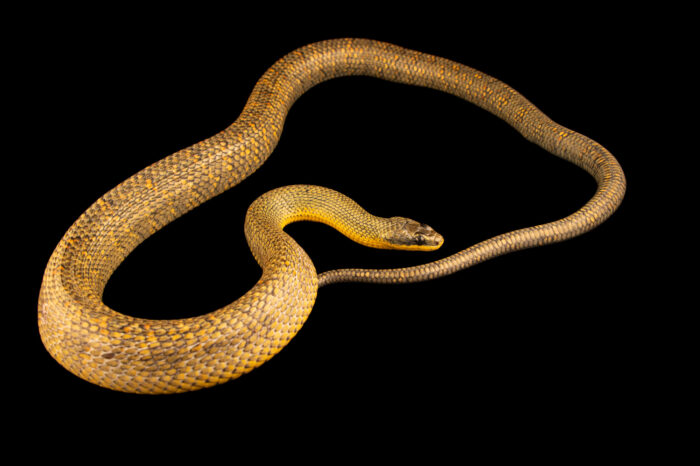 Photo: A puffing snake (Pseustes poecilonotus) at the Jacksonville Zoo and Gardens, Jacksonville, Florida.
