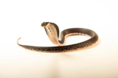 Photo: A black and white spitting cobra (Naja siamensis) at the Sedgwick County Zoo in Wichita, Kansas.