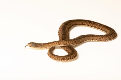 Photo: A spotted night adder or forrest night adder (Causus maculatus) at the Sedgwick County Zoo in Wichita, Kansas.