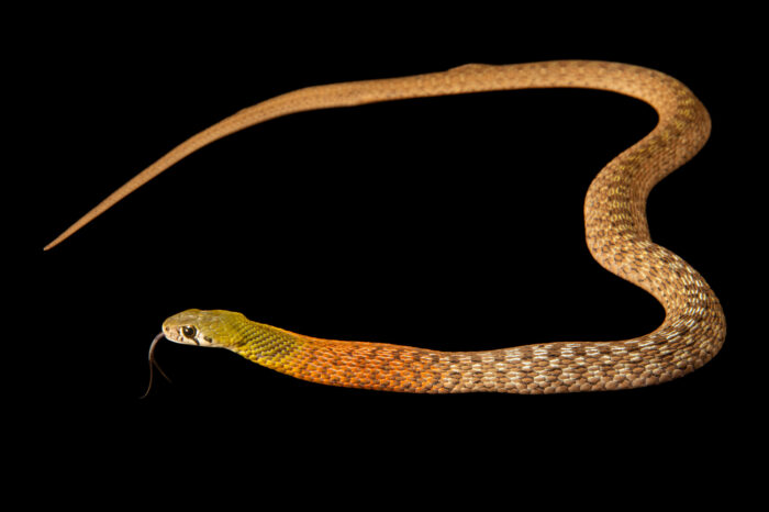 Photo: A red-necked keelback snake (Rhabdophis subminiatus) at the Sedgwick County Zoo in Wichita, Kansas.