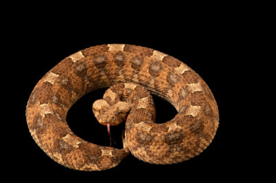 Photo: A horned viper (Bitis caudalis) at the Sedgwick County Zoo in Wichita, Kansas.