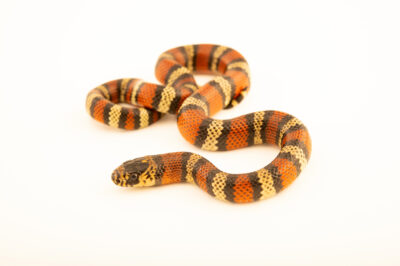 Photo: A Andean milk snake (Lampropeltis triangulum andesiana) at the West Liberty University Crayfish Conservation Lab in West Liberty, West Virginia.