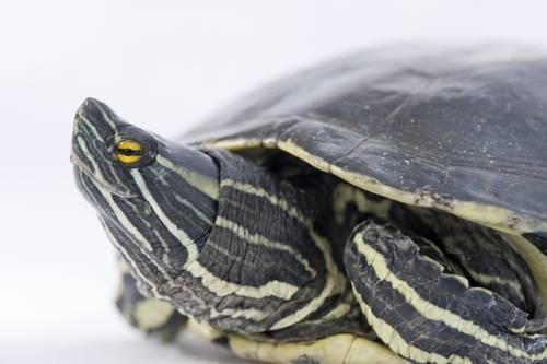 Picture of a vulnerable Hispaniolan or Haitian slider turtle (Trachemys decorata) at the Bermuda Aquarium, Museum and Zoo.