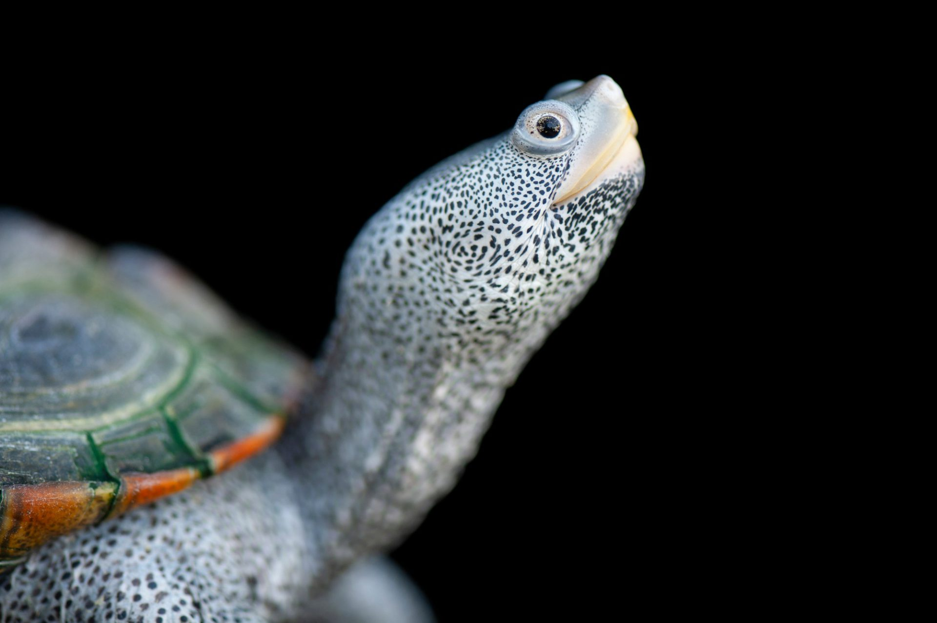 Picture of a Bermuda diamondback terrapin (Malaclemys terrapin). This may soon be designated as a separate subspecies or even a full species, and was photographed at the Bermuda Aquarium, Museum and Zoo.