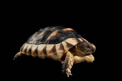 A marginated tortoise (Testudo marginata) at the Gladys Porter Zoo.
