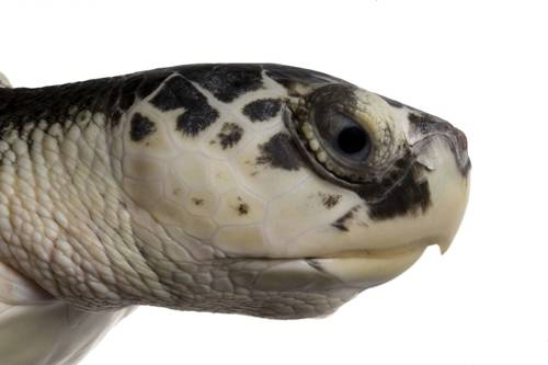 A critically endangered (IUCN) and federally endangered, injured Kemp's ridley sea turtle (Lepidochelys kempii) at the Gladys Porter Zoo.