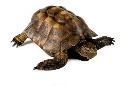 A Texas tortoise (Gopherus berlandieri) at the Houston Zoo.