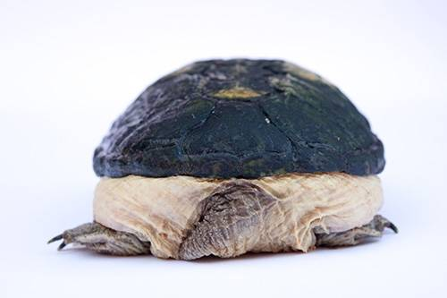A narrow-bridged musk turtle (Claudius angustatus) at the Chapultepec Zoo in Mexico City.