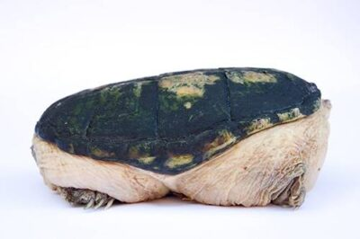A narrow-bridged musk turtle (Claudius angustatus) at the Chapultepec Zoo in Mexico City.