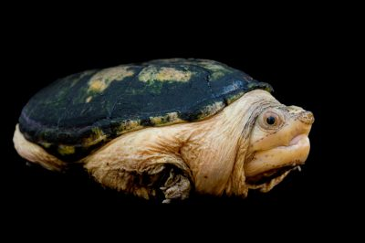 Photo: A narrow-bridged musk turtle (Claudius angustatus) at the Chapultepec Zoo in Mexico City.