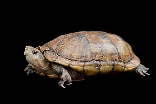 Photo: A scorpion mud turtle (Kinosternon scorpiodes) at the Chapultepec Zoo in Mexico City.