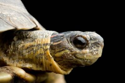 A furrowed wood turtle (Rhinoclemmys areolata) at the Chapultepec Zoo in Mexico City.