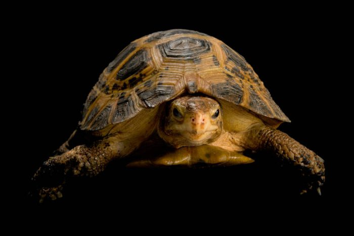 An endangered Forsten's (travancore) tortoise (Indotestudo forstenii) at Zoo Atlanta. This terrestrial species is from Indonesia's Sulawesi Island.