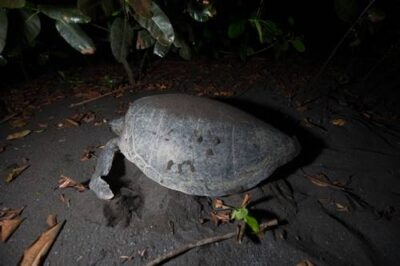 Photo: A nesting leatherback sea turtle along the south coast of Bioko.