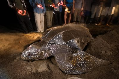 Photo: Researchers watch as a leatherback sea turtle nests on Bioko's coast.