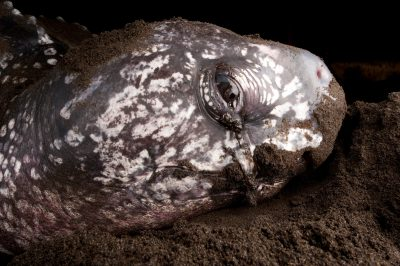 Photo: A nesting leatherback sea turtle along the south coast of Bioko.