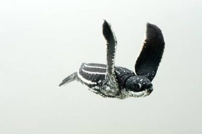 A half-day-old hatchling leatherback turtle (Dermochelys coriacea) from Bioko Island. (IUCN: Critically Endangered, US: Endangered)