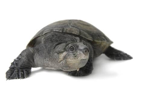 Photo: A critically endangered Madagascar big-headed turtle (Eruymnochlys madagascariensis) at the Omaha zoo.