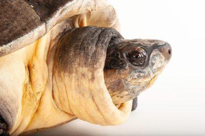 An endangered Malaysian giant turtle (Orlitia borneensis) at the Columbus Zoo.