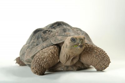 A vulnerable (IUCN) and federally endangered Volcan Darwin tortoise (Chelonoidis vicina) at the Lincoln Children's Zoo.