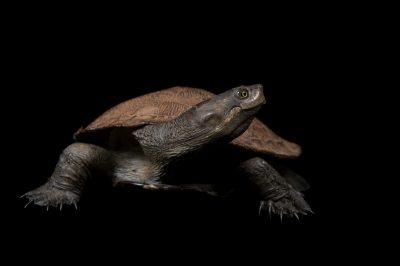 Krefft's turtle (Emydura macquarii krefftii) in Burpengary, Queensland, Australia.