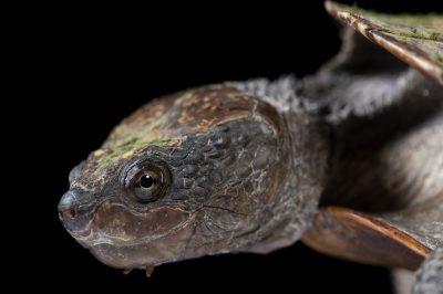 A saw-shelled turtle (Myuchelys latisternum) at the Australia Zoo Wildlife Hospital.
