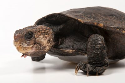 A northern snapping turtle (Elseya dentata) at the Australia Zoo Wildlife Hospital.