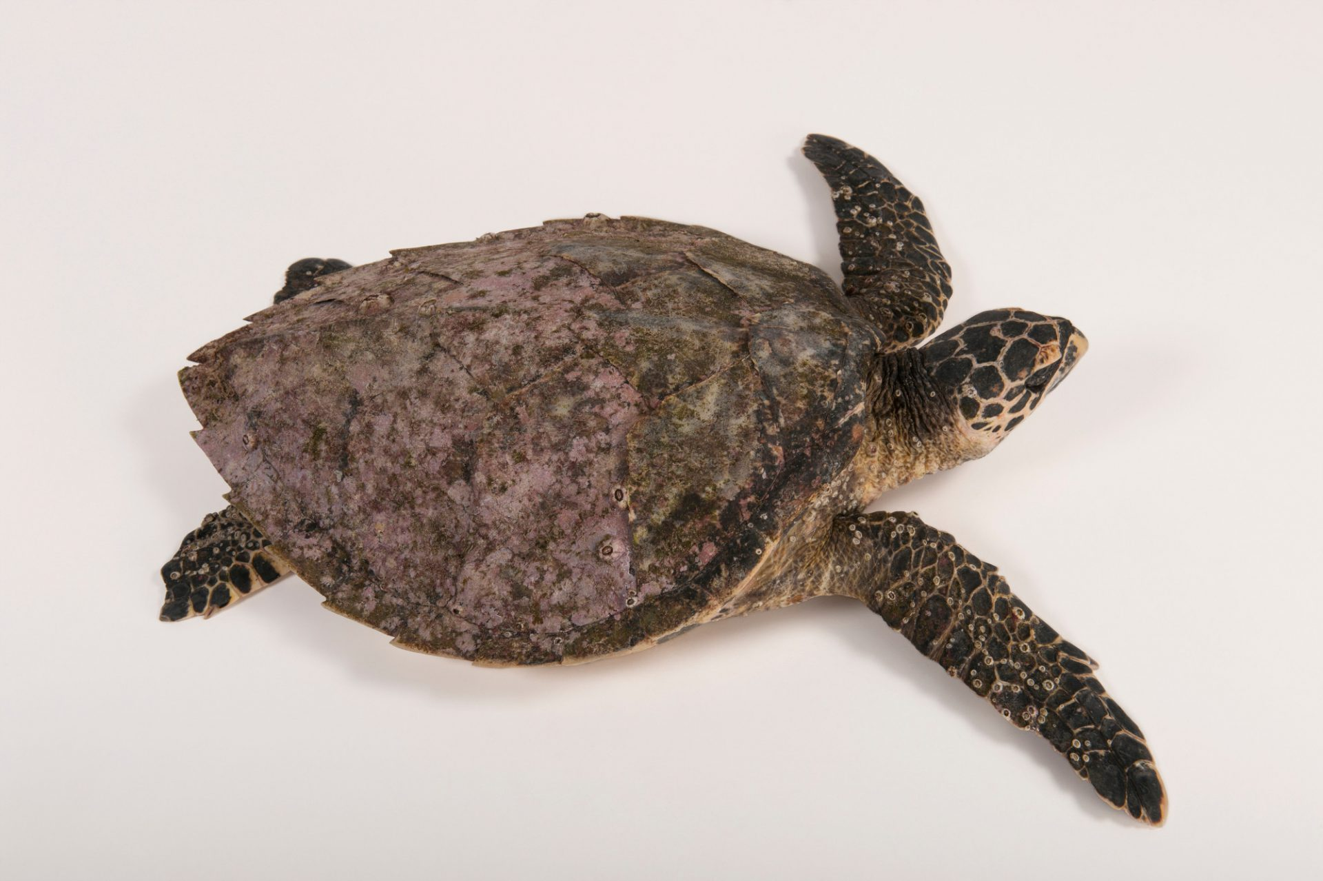 A very ill, critically endangered (IUCN) and federally endangered Hawksbill sea turtle (Eretmochelys imbricata) at the Australia Zoo Wildlife Hospital.