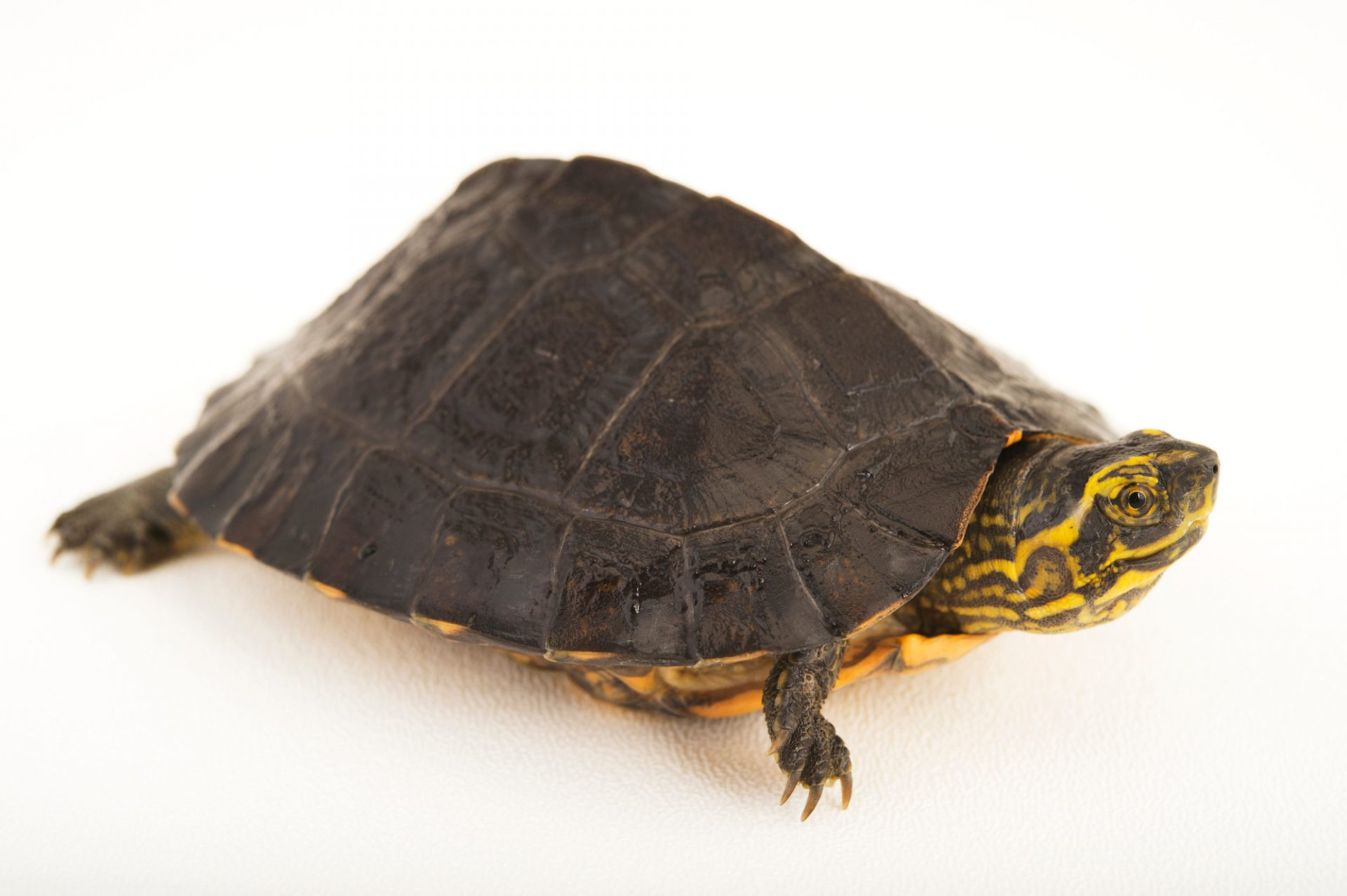 Photo: An endangered yellow-headed temple turtle (Heosemys annandalii).