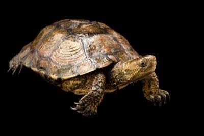 Photo: A Spanish pond turtle (Mauremys leprosa) at Parque Biologico.