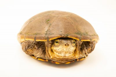 Photo: Yellow mud turtle (Kinosternon flavescens) at Wildcare, a wildlife rehab center.
