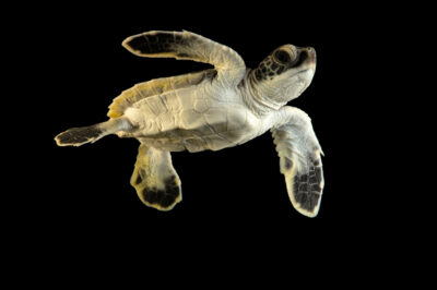 Photo: An endangered hatchling green sea turtle (Chelonia mydas) at Riverbanks Zoo and Garden.